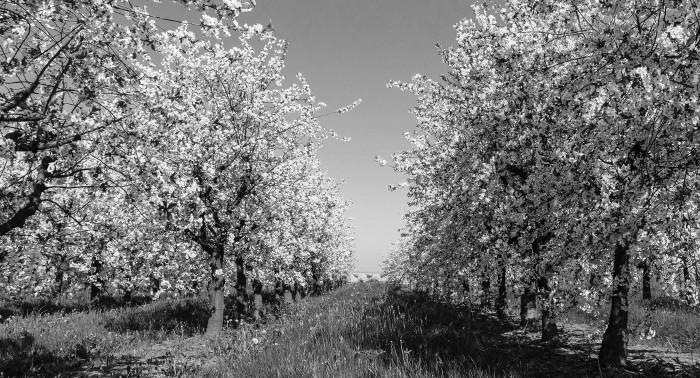 Jus de Fruits artisanal haut de gamme naturel Chateau du Clau pommier en fleur